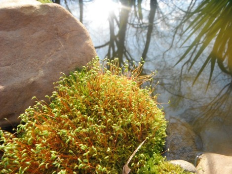 blooming moss on rock at Mom's pond