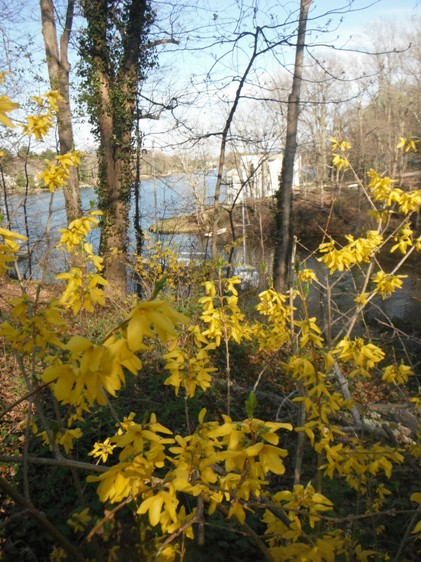 forsythia and Mill Creek