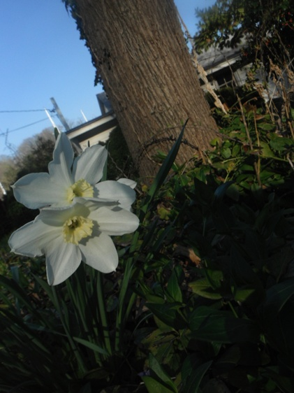 daffodils in the remnants of grandpa's garden - house in the background