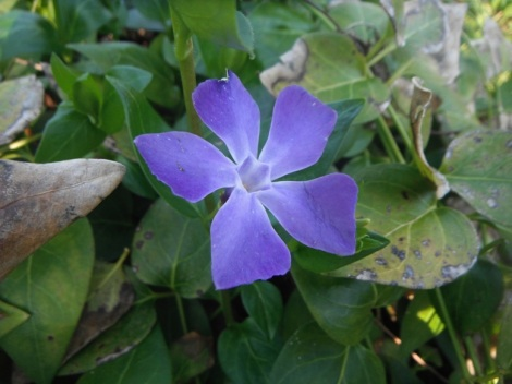 periwinkle in the remnants of grandpa's garden