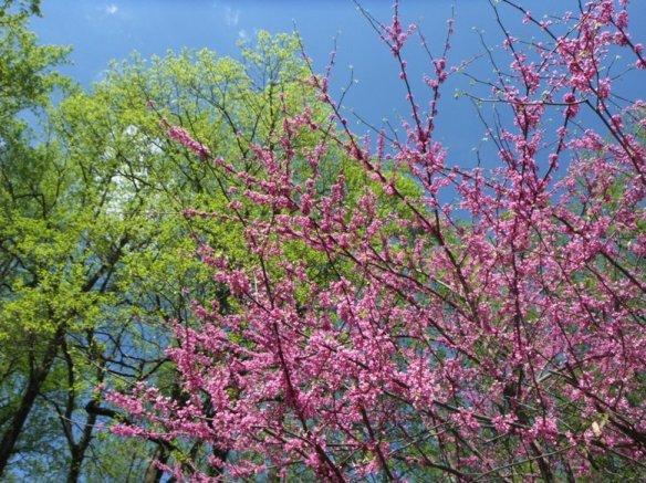 redbud bloomsedit