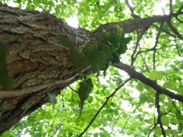 redbud tree full of green