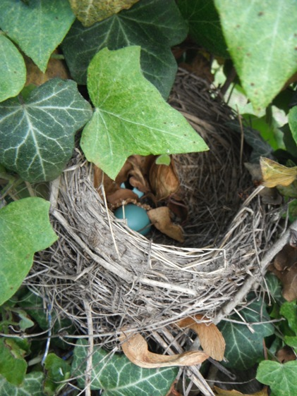 empty nest - robin egg shells