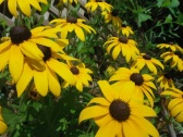 grandpas black-eyed-susans, somehow they still managed to sprout up even after all the changes...