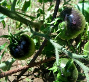 on-the-way blue tomatoes