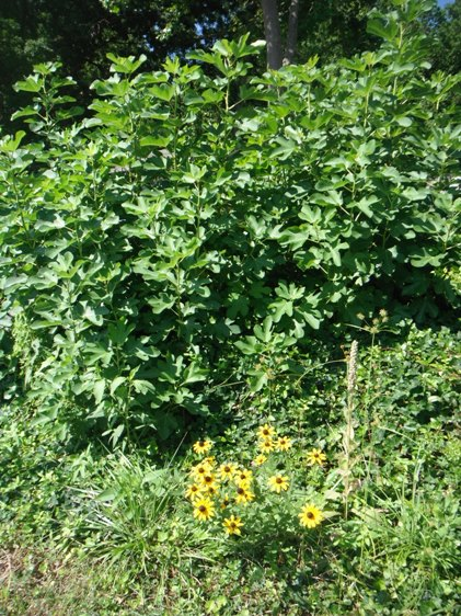 Fig Trees  and Black-Eyed-Susans