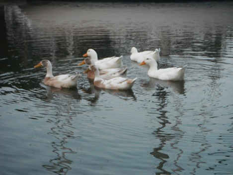 Mill Creek's resident white duck family