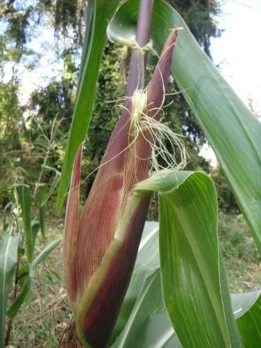 peru corn ear
