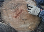 gorgous round of oak - you can see that it has two hearts (two trunks merged) and the blood red crease