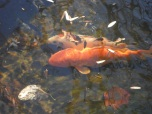 every being...koi sleeping in the pond during winter