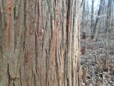 bald cypress bark close-up