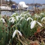 snowbells in springtime