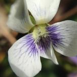 wild viola a.k.a. Viola sororia