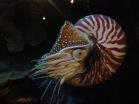 nautilus - Monterey Aquarium