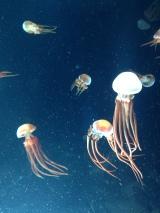 fire and ice jellies - Monterey Aquarium